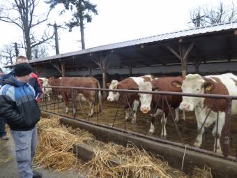 Egyik farmon tejelő, másikon húsállatokat tenyésztenek
