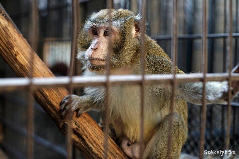 Lecsupaszított karácsonyfákon mászkálhatnak a vásárhelyi állatkert lakói