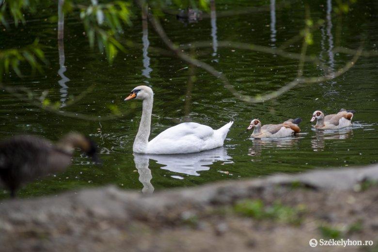 Hattyúfészkelési szabadság a vásárhelyi állatkertben