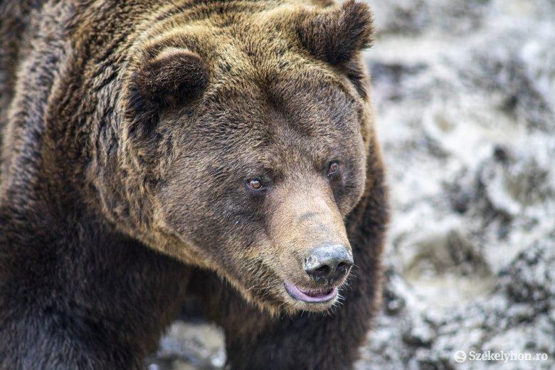 Három juhot ölt meg a medve egy farcádi gazda udvarán