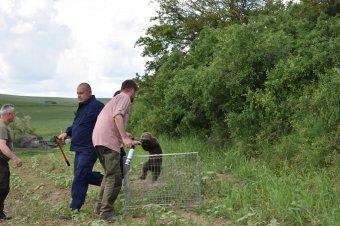 Elektromos kerítésbe szorult medvebocsot mentettek ki