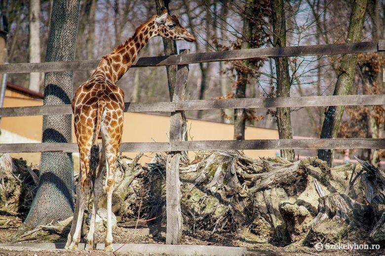 Elpusztult a marosvásárhelyi állatkert egyetlen zsiráfja